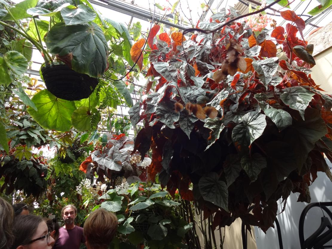 18 Rochefort Conservatoire Begonia Visite guidee